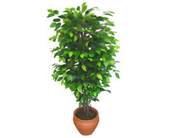 Ficus Benjamin 1,50 cm   Trabzon İnternetten çiçek siparişi