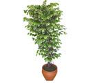 Ficus özel Starlight 1,75 cm   Trabzon güvenli kaliteli hızlı çiçek
