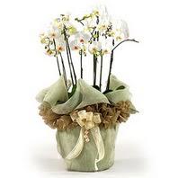 Trabzon anneler günü çiçek yolla  3 dal orkide , saksi çiçegi , 3 kök orkide
