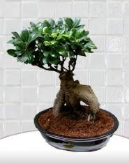 saksı çiçeği japon ağacı bonsai  Trabzon çiçek satışı