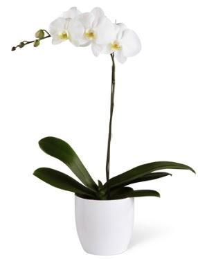 1 dallı beyaz orkide  Trabzon çiçek yolla , çiçek gönder , çiçekçi