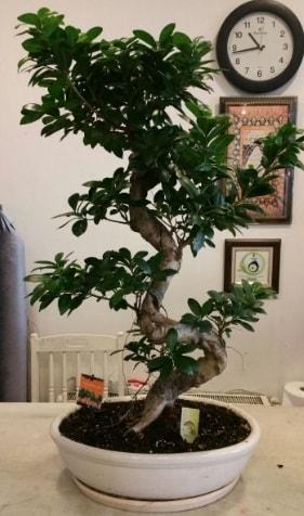 100 cm yüksekliğinde dev bonsai japon ağacı  Trabzon çiçek siparişi sitesi