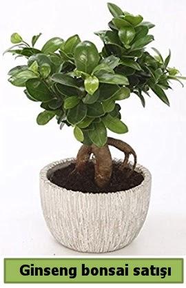 Ginseng bonsai japon ağacı satışı  Trabzon çiçek siparişi vermek