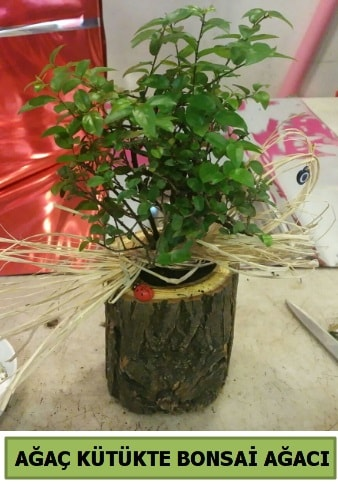 Doğal ağaç kütük içerisinde bonsai ağacı  Trabzon internetten çiçek satışı