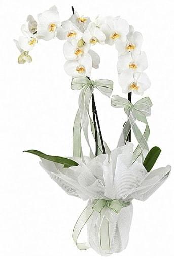Çift Dallı Beyaz Orkide  Trabzon İnternetten çiçek siparişi