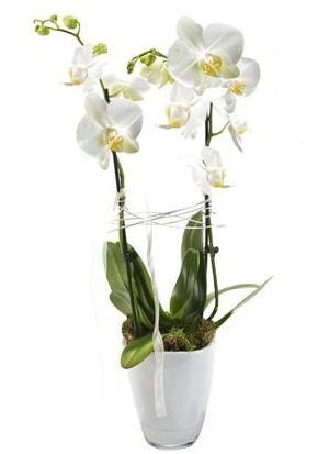 2 dallı beyaz seramik beyaz orkide saksısı  Trabzon internetten çiçek satışı