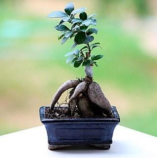 Marvellous Ficus Microcarpa ginseng bonsai  Trabzon çiçek mağazası , çiçekçi adresleri