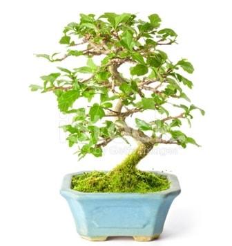 S zerkova bonsai kısa süreliğine  Trabzon çiçek siparişi sitesi