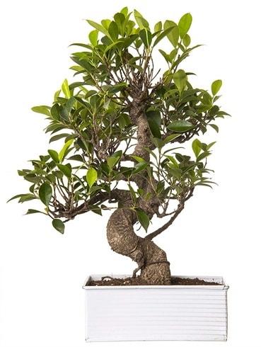 Exotic Green S Gövde 6 Year Ficus Bonsai  Trabzon internetten çiçek satışı